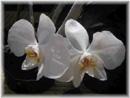 orquideasblancas.jpg